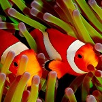 Common clownfish guarding their sea anemone home