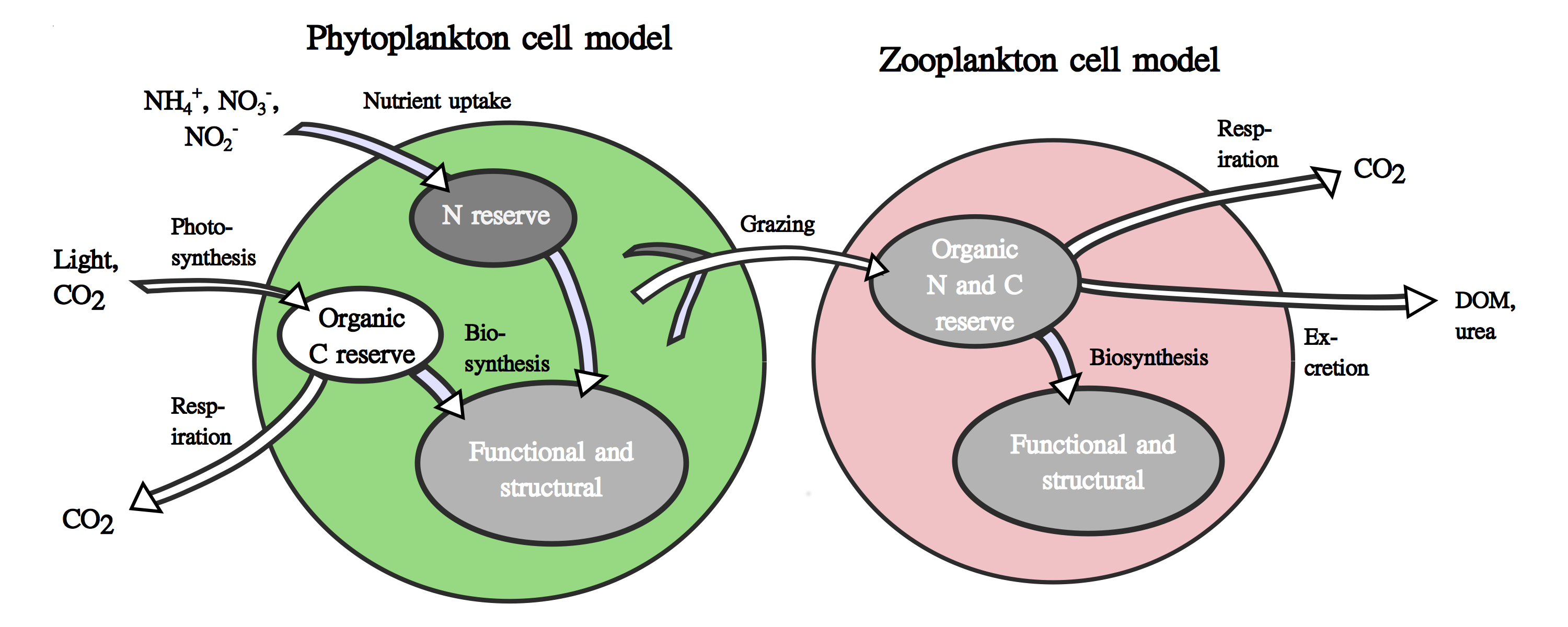 Schematic representation of a phytoplankton cell model and a zooplankton model - Image courtesy: D. Talmy